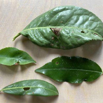 Kirschlorbeer mit Löcher in Blätter, Schrotschusskrankheit