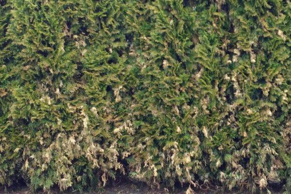 Thuja Hecke mit viele braune Stellen wegen Läuse, sehr hässlich