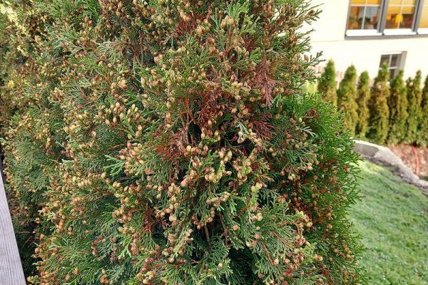 Dieselbe Thuja Smaragd-Hecke bei noch näherer Betrachtung. Die braunen Knospen oder Samen sind jetzt sichtbar.