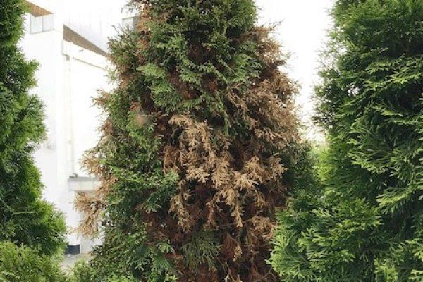 Thuja Smaragd mit große braune Flecken bzw. Stellen